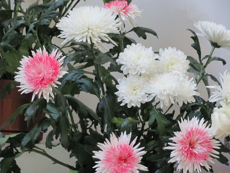 Цветы хризантемы обои для рабочего